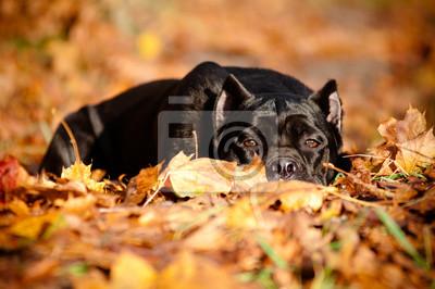Cane Corso Hund im Herbst Laub