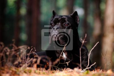 Cane Corso Hund in den Wald