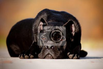 Cane Corso Hund Porträt