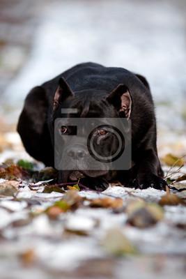 Cane Corso Hund Porträt auf Schnee