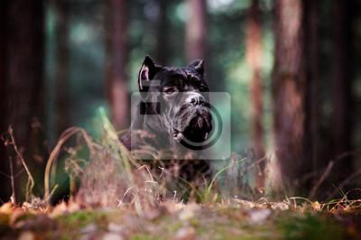 Cane Corso Hund Porträt im Wald