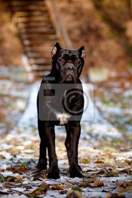 Cane Corso Hund Porträt stehend