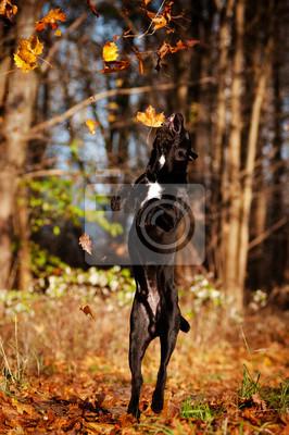 Cane Corso Hund springt und ihn Herbstlaub
