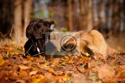 Cane Corso und Leonberger Hunde liegen zusammen