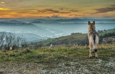 Fototapete Cane Lupo