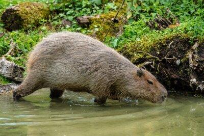 Capybara, Hydrochoerus hydrochaeris grazing on fresh green grass