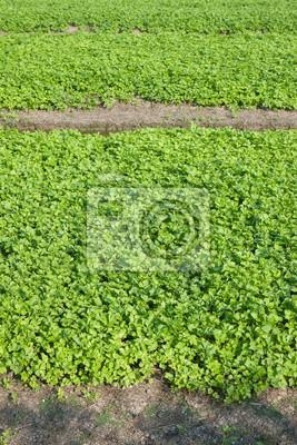 Celery farming in Thailand.