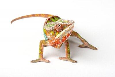 Fototapete Chameleon auf einem weißen Hintergrund