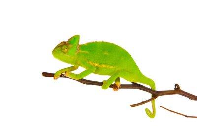 Fototapete Chameleon auf einem Zweig