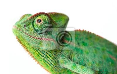 Fototapete chameleon - Chamaeleo calyptratus on a branch isolated on white