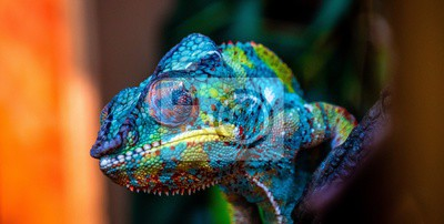 Fototapete chameleon with amazing colors