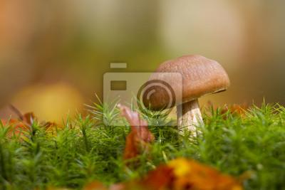 Champignon Cortinaire brun