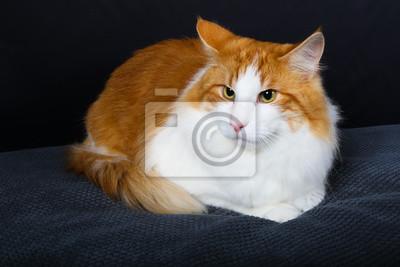 chat, animal, animal de compagnie, chaton, felidae, joli, blanc, domestique, fourrure, yeux, animal de compagnie, animal, mammifère, chat, portrait, orange, chat tigré, isolé, rouge, regardant, chat,