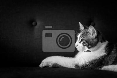 Chatten Sie blanc tigré, Porträt en noir und blanc