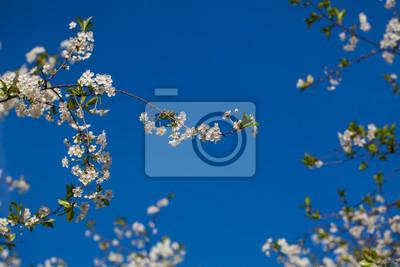 cherry blossom on a background of blue sky