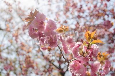Cherry Blossoms Flower Sakura In Spring Season In Japan Fototapete