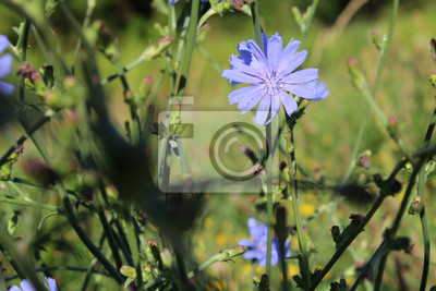 Chicoree Cichorium Intybus Blaue Blüte Wildblume Im Feld