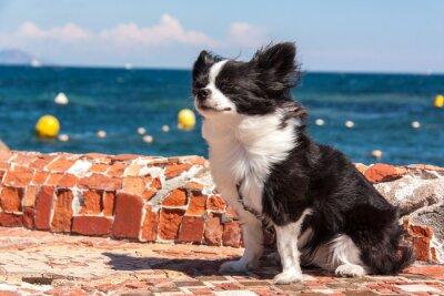 Fototapete Chihuahua