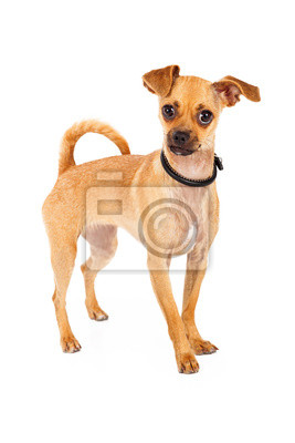 Fototapete Chihuahua Dog With Big Brown Eyes Standing