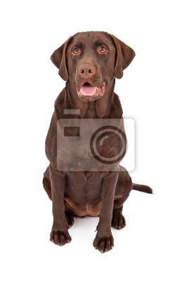 Fototapete Chocolate Labrador Retriever Dog Sitting