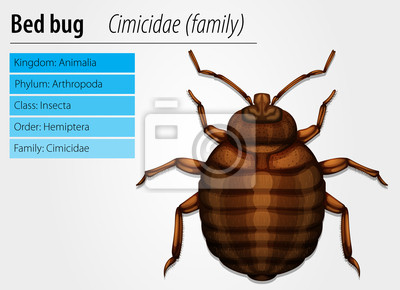 Cimicidae-Wanze