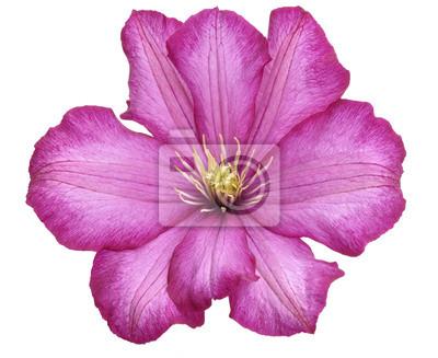 Clematis-Blume