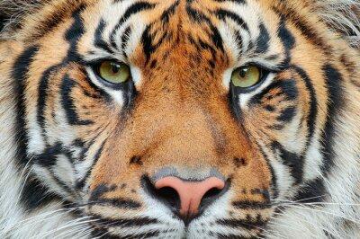 Fototapete Close-up Detail Porträt von Tiger. Sumatran-Tiger, Panthera tigris sumatrae, seltene Tigerunterarten, die die indonesische Insel Sumatra bewohnen. Schönes Gesicht Porträt des Tigers. Gestreifter Pelzm