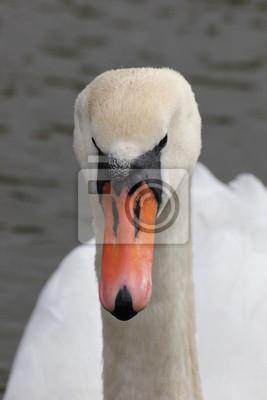 Close-up ein weißer Schwan auf dem Wasser