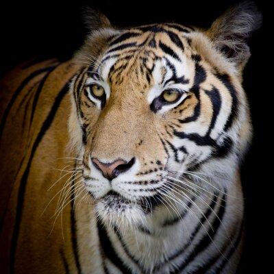 Fototapete Close up Gesicht Tiger auf schwarzem Hintergrund isoliert