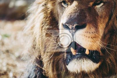 Close up machoire de lion