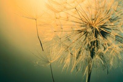 Fototapete close up of beautiful dandelion