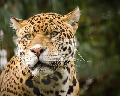 Fototapete Close-Up Of Jaguar Looking Away