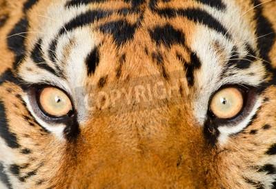 Fototapete close up of tiger eye