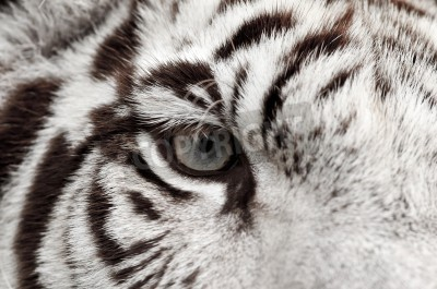 Fototapete close up of white bengal tiger eye