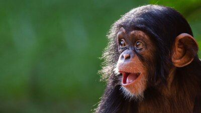 Fototapete Close up portrait of a happy baby chimpanzee with a silly grin with room for text