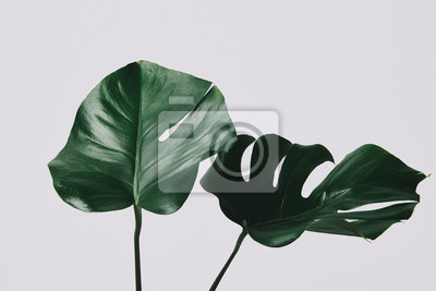 Fototapete close-up shot of monstera leaves isolated on white