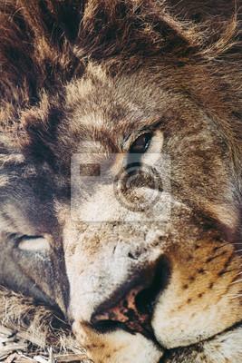 Close up tête de lion
