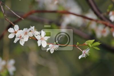 Close-up von einer Apfelblüte im Frühjahr
