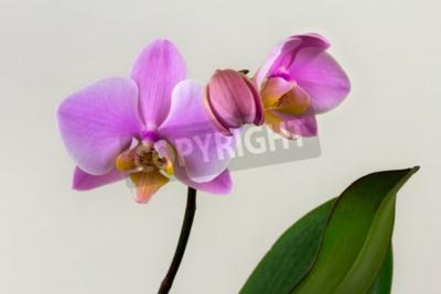 Fototapete Close-up von Pastell Orchidee Blume. Zen in der Kunst der Blumen. Makrofotografie der Natur.