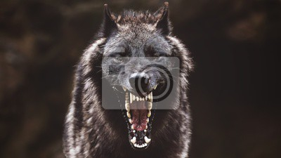 Fototapete Closeup of a black roaring wolf with a huge mouth and teeth with a blurry background