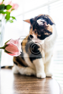 Fototapete Closeup Portrait Von Calico Katze Sitzt Auf Küche Zimmer Tisch  Blick Auf Rosa Rose Blume