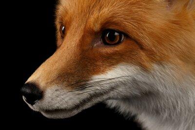 Fototapete Closeup Portrait von Red Fox in Profil auf schwarz isoliert