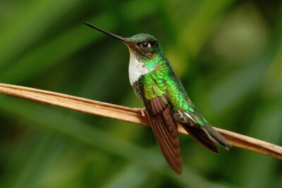 Fototapete Collared Inca, Coeligena torquata, Kolibri aus Mindo Wald, Vogel von Ecuador