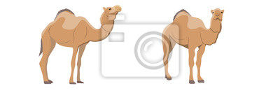 Fototapete Collection of one-humped camels. Animals of Africa and Australia. Realistic vector object