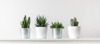 Fototapete Collection of various cactus and succulent plants in different pots. Potted cactus house plants on white shelf against white wall.