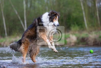 Collie Mix Hund Springt Für Einen Ball In Einem Fluss Fototapete