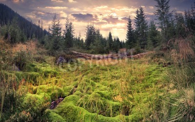 Fototapete Colorful summer sunrise in the magic forest with huge carpet of green moss