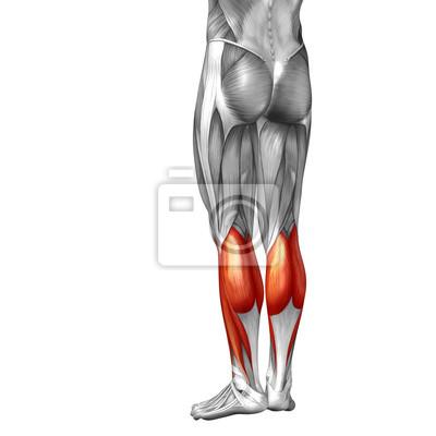 Conceptual 3d human back lower leg muscle anatomy fototapete ...