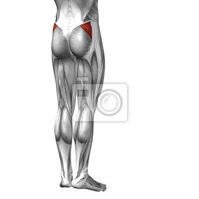 Conceptual 3d menschlichen rücken oberschenkel muskelanatomie ...