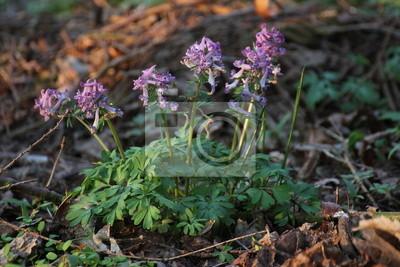 Corydalis solida im Wald von Weitenhagen